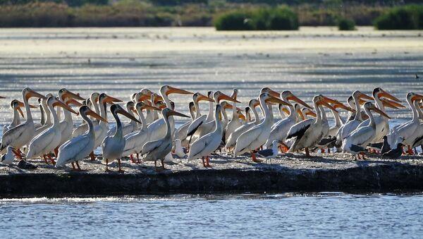 pelikanlar - pelikan - Sputnik Türkiye