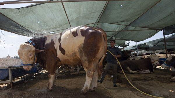 İzmir'in Buca ilçesinde kurulan kurbanlık satış alanına getirilen 1270 kiloluk büyükbaş hayvan, 32 bin liradan satıldı. - Sputnik Türkiye