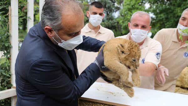 Bursa Büyükşehir Belediyesi Hayvanat Bahçesi'nde 3 yavru aslan dünyaya geldi - Sputnik Türkiye