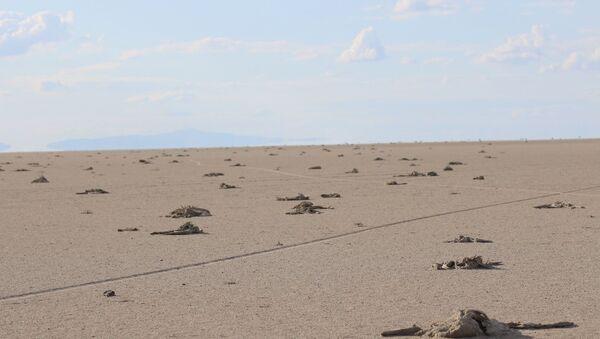 Tuz Gölü'nde yavru flamingo katliamı - Sputnik Türkiye