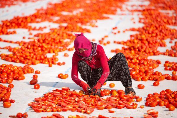 Hazırlanan alana getirilen domatesler, buradaki işçiler tarafında bıçakla ikiye ayrılıyor. - Sputnik Türkiye