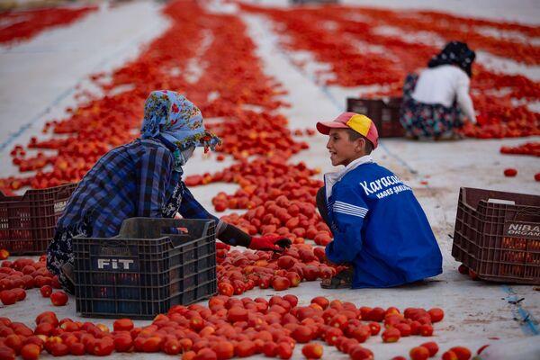 Kasalarda ezilen veya bozuk olan domatesler işçiler tarafından ayıklanıyor. - Sputnik Türkiye