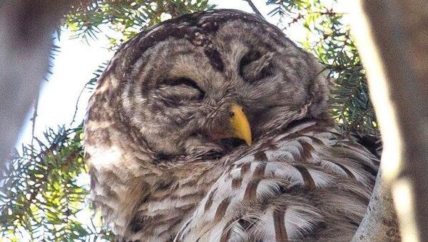 ABD'nin New York kentindeki Central Park'ın ünlü baykuşu bir aracın çarpması sonucu hayatını kaybetti. - Sputnik Türkiye