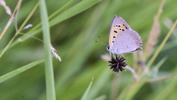 Van Gölü havzası 230 kelebek türüne ev sahipliği yapıyor - Sputnik Türkiye