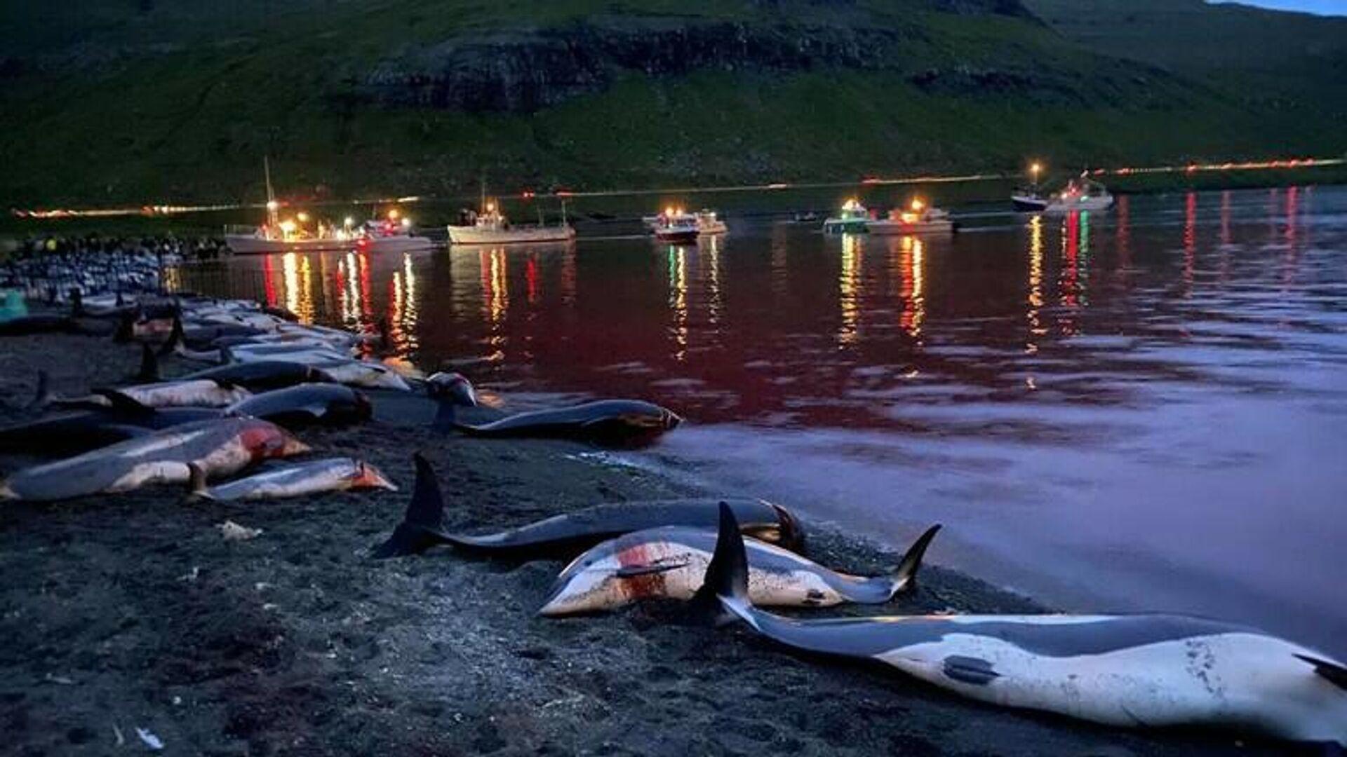 Faroe Adaları'nda kanlı av: Bin 500 yunus katledildi - Sputnik Türkiye, 1920, 14.09.2021