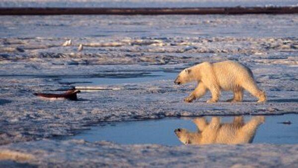 Alaska'daki Milli Arktika Parkı'nda bir kutup ayısı - Sputnik Türkiye