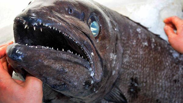 Datça'da yağ balığı şaşkınlığı - Sputnik Türkiye
