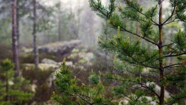 Karelya Cumhuriyeti'nin ormanında örümcek ağı - Sputnik Türkiye