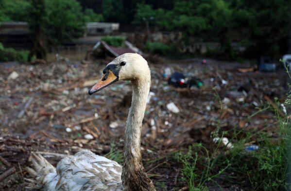 Selden etkilenen Tiflis Hayvanat Bahçesi'ndeki yaralı kuğu - Sputnik Türkiye