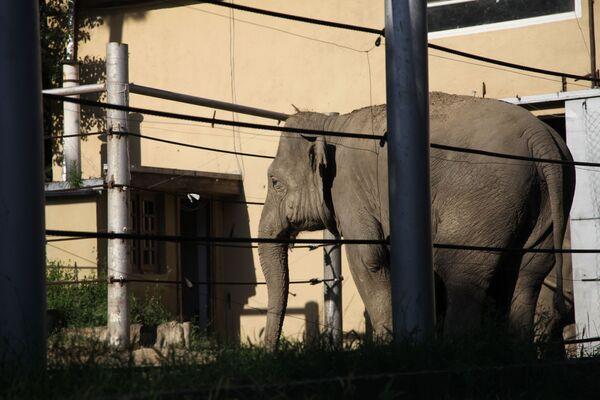 Tiflis'teki sel sırasında hayvanat bahçesinden kaçan fil - Sputnik Türkiye