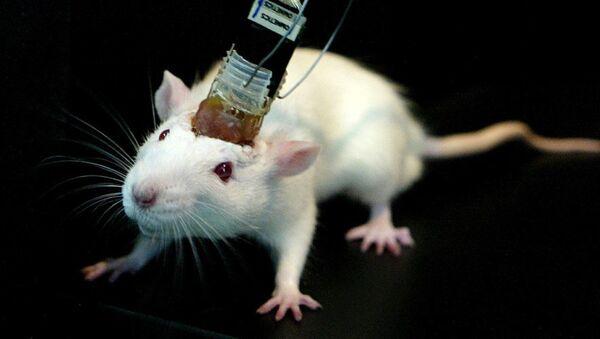 Beyin implantı fare - Sputnik Türkiye