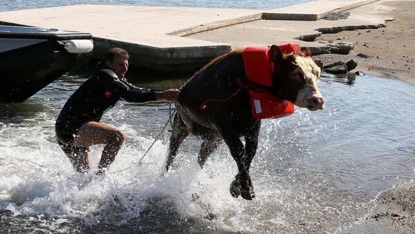 Denize atlayan tosun - Sputnik Türkiye