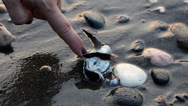 Caretta caretta yavruları denizle buluştu - Sputnik Türkiye