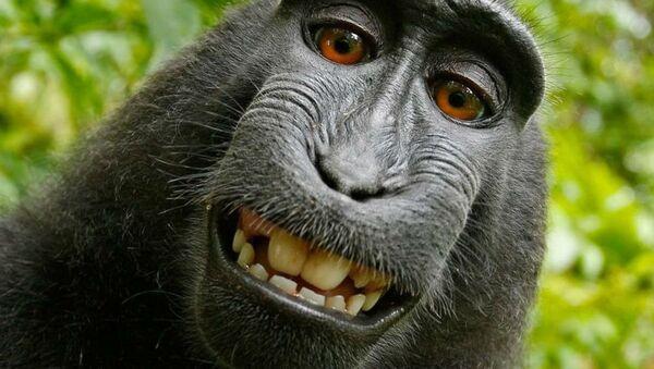 'Selfie yıldızı' maymun - Sputnik Türkiye