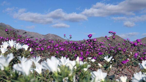 Atacama Çölü - Sputnik Türkiye