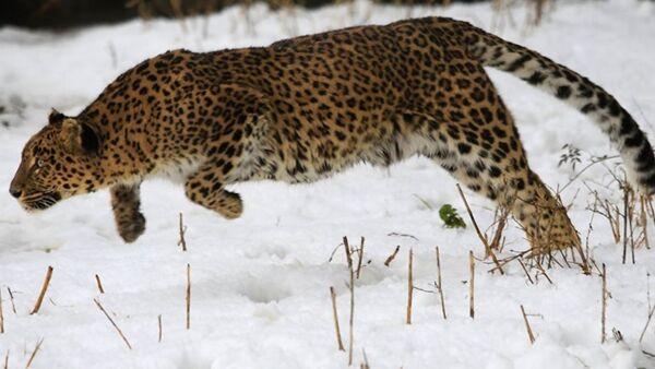 Hindistan'da leopar saldırısı (VİDEO) - Sputnik Türkiye