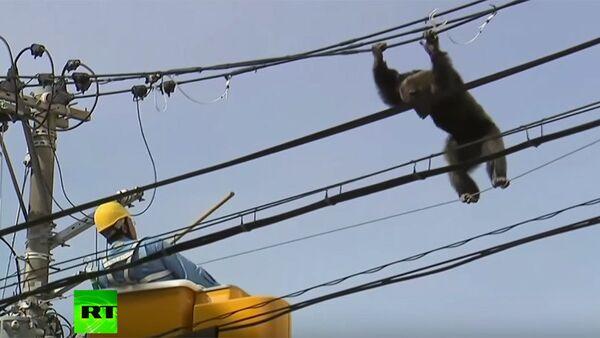 Japonya'da maymun kovalamacası - Sputnik Türkiye