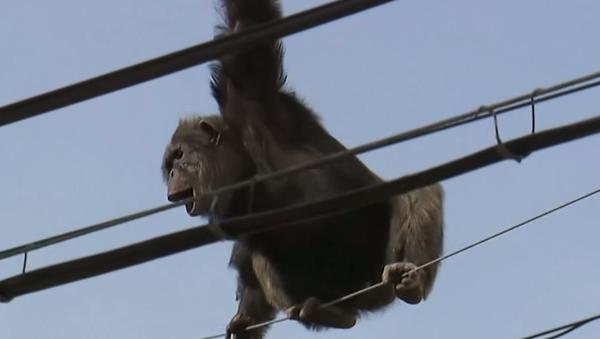 Japonya'da bir hayvanat bahçesinden kaçan bir şempanzeyi yakalama çalışmaları 'tırnak yetirten' görüntülere sahne oldu. - Sputnik Türkiye