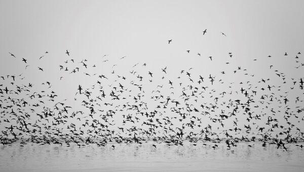 göçmen kuşlar - Sputnik Türkiye