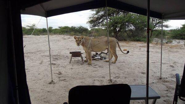 Kgalagadi Transfrontier Park'ta safari yapan turistleri aslanlar uyandırdı. - Sputnik Türkiye
