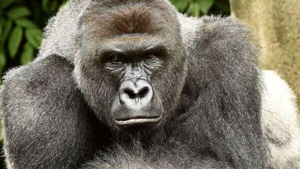 ABD'nin Ohio eyaletindeki Cincinati Hayvanat Bahçesi'nde dört yaşında bir çocuğun kafesine düşmesi nedeniyle öldürülen goril için imza kampanyası başlatıldı. - Sputnik Türkiye