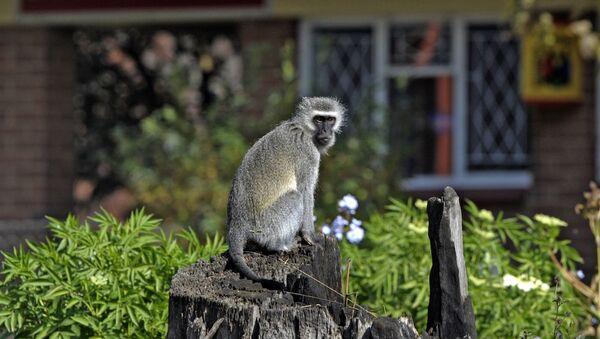 Kenya'da sıklıkla görülen vervet maymunu. - Sputnik Türkiye