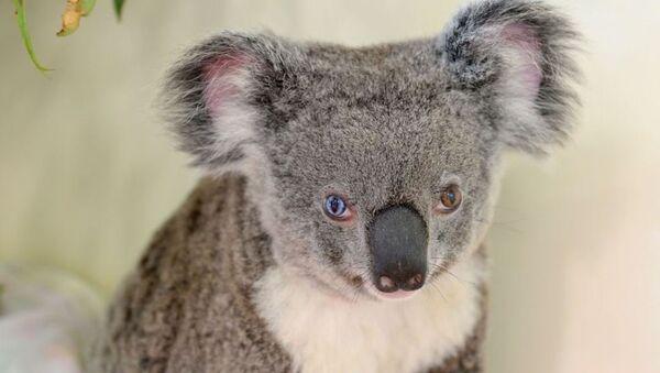 Avustralya'da bulunan gözleri farklı renklerdeki koala - Sputnik Türkiye
