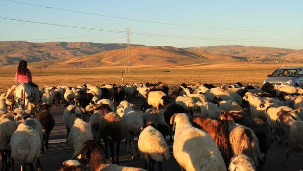 4 bin lira maaşa rağmen çoban bulamıyorlar - Sputnik Türkiye