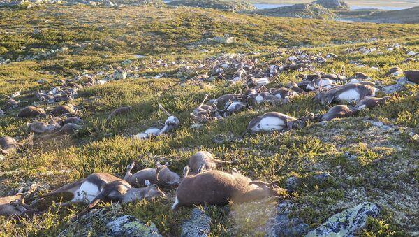 Norveç'in Telemark kasabasındaki Hardangervidda dağlarında yüzlerce ren geyiği yıldırım düşmesi nedeniyle öldü. - Sputnik Türkiye