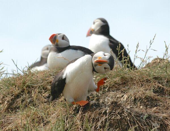İngiltere'ye bağlı Farne adalarındaki bir penguen yavrusu - Sputnik Türkiye