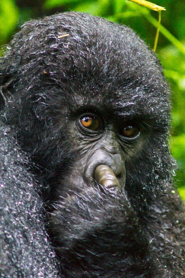 Rwanda'da burnunu karıştırırken yakalanan bir goril - Sputnik Türkiye
