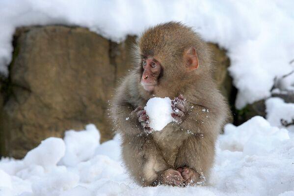 Japonya'da kartopu yapan maymun - Sputnik Türkiye