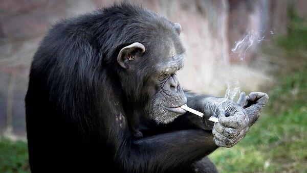 Kuzey Kore'nin başkenti Pyongyang'da açılan bir hayvanat bahçesinde Azalea adlı şempanze, günde bir paket sigara içiyor. - Sputnik Türkiye