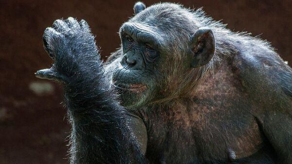 Şempanze Cecilia - Sputnik Türkiye