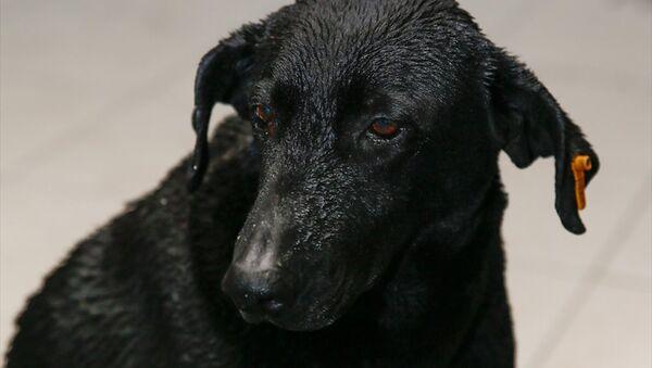İzmir'deki saldırıda hayatını kaybeden polis memurunun sahiplendiği sokak köpeği Zeytin - Sputnik Türkiye