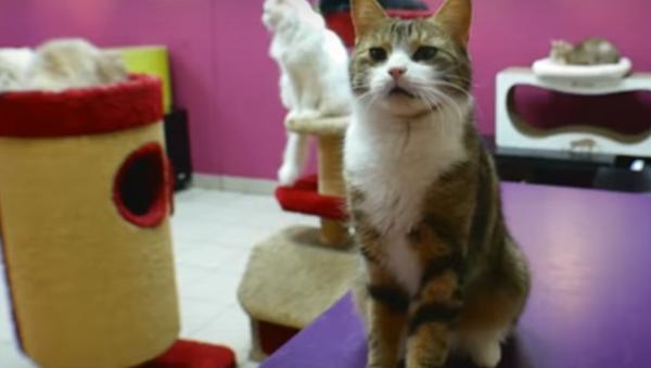 Rusya'nın St. Petersburg kentindeki Kedi Cumhuriyeti isimli kafede yaşayan Maru isimli kedi sayı saymasının yanı sıra basit matematik sorularını doğru şekilde çözebiliyor. - Sputnik Türkiye
