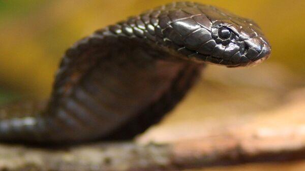 Kobra yılanı - Sputnik Türkiye