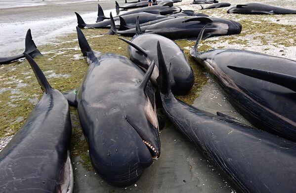 Yeni Zelanda'da balinalar kıyıya oturdu - Sputnik Türkiye