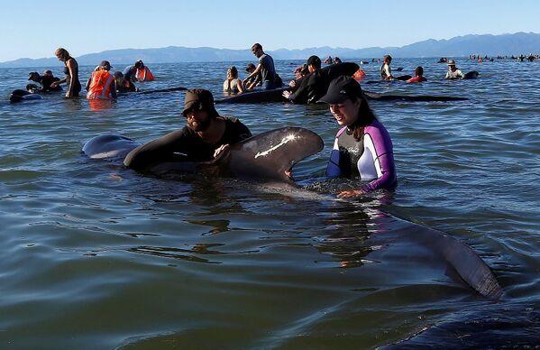Yeni Zelanda kıyıya vuran balinalar - Sputnik Türkiye