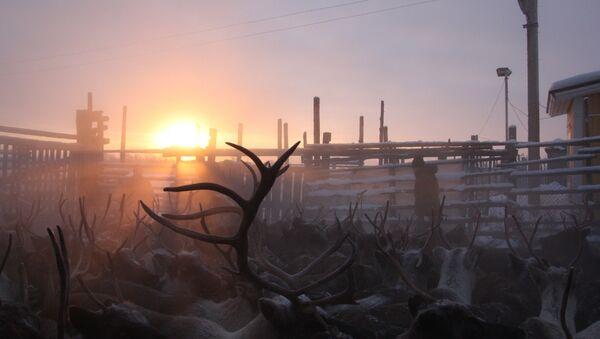 Arktik bölgesinde geyikler - Sputnik Türkiye