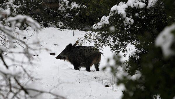 Çekya ormanlarında radyoaktif yaban domuzları bulundu - Sputnik Türkiye