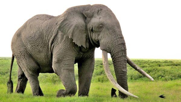 Kenya'da yaşayan bir uzun dişli fil - Sputnik Türkiye