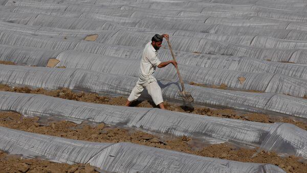 Pakistanlı bir çiftçi - Sputnik Türkiye