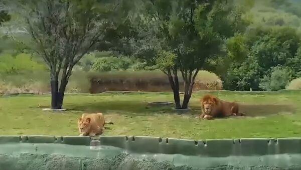 Meksika aslan - Sputnik Türkiye