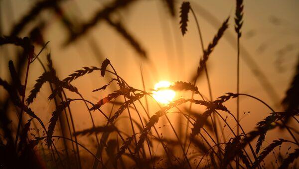 Buğday - Sputnik Türkiye