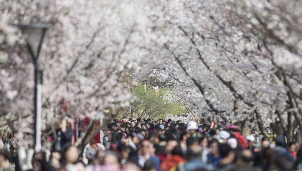 Japonlar kiraz ağaçlarının altında baharın gelişini kutladı - Sputnik Türkiye