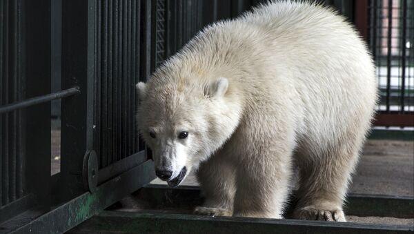 Kutup ayısı Nika - Sputnik Türkiye