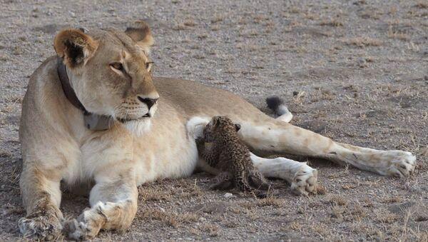 Tanzanya'da bir aslan, yavru leopara sütannelik yaparken görüntülendi - Sputnik Türkiye