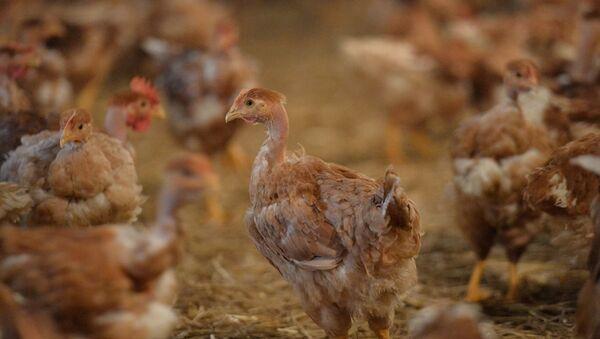 Tavuk üretimi - GDO - Sputnik Türkiye