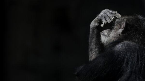 Şempanze - Sputnik Türkiye